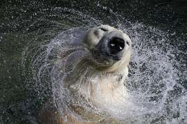 27 year old white polar bear Uslada shakes off water in her pool at the Leningrad Zoo in St. Petersburg, April 24, 2014.