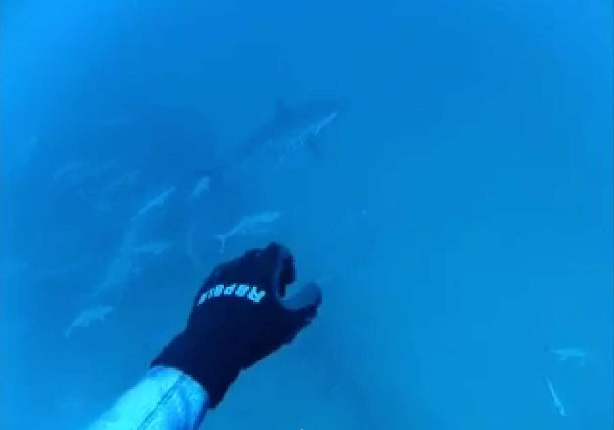 Divers spotted the Great White ominously swimming by during a trip out 80 miles off the Florida coast.