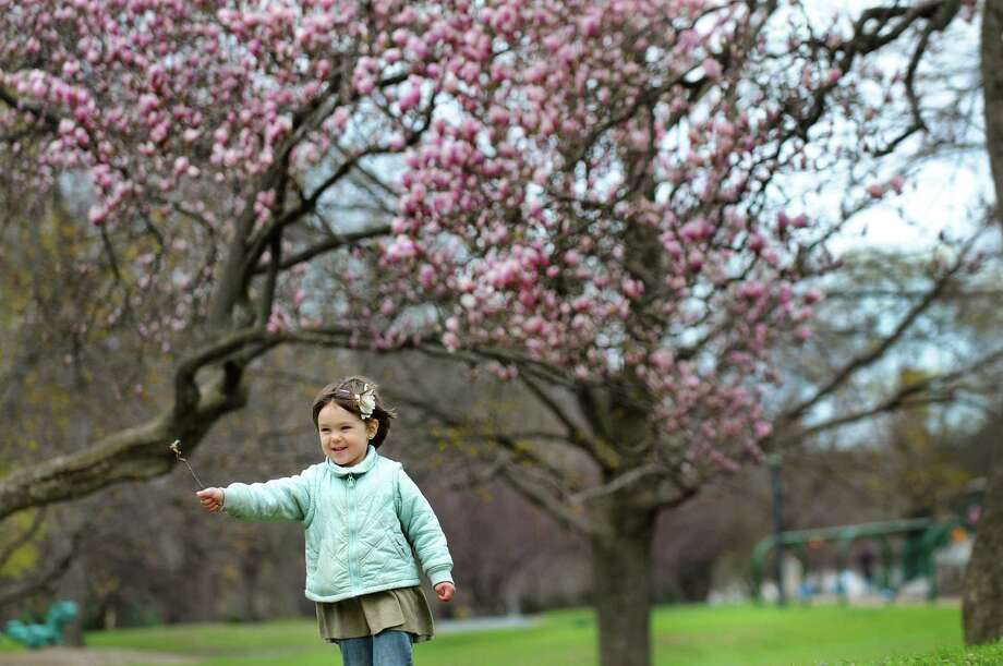 Coral Padfield, 3, of Albany plays among the spring blooms on Tuesday, April 29, 2014, at Washington Park in Albany, N.Y. (Cindy Schultz / Times Union) Photo: Cindy Schultz / 00026659A