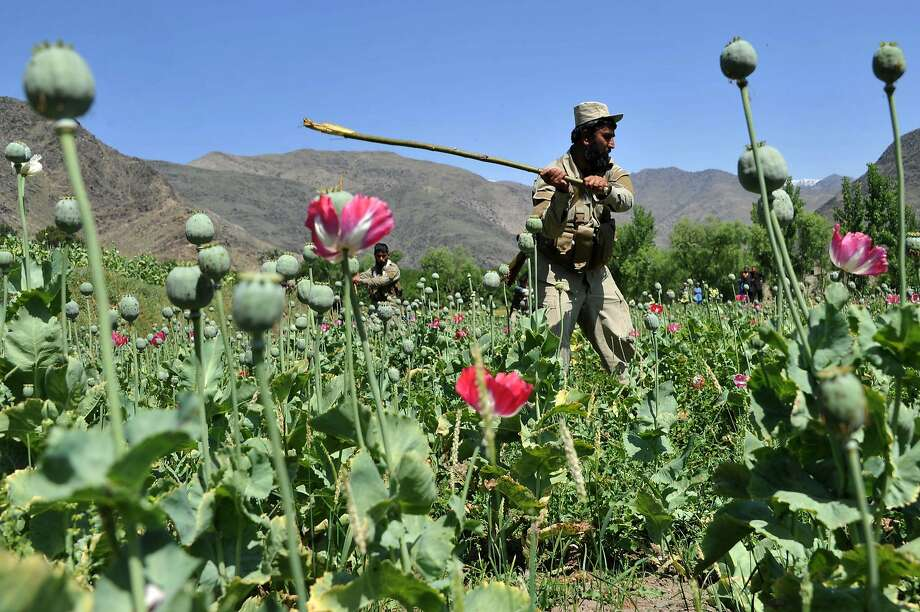 TOPSHOTS An Afghan security force member destroys an illegal poppy crop in the Noor Gal district of eastern Kunar province on April 29, 2014. Citing the United Nations Office of Drugs and Crime, John Sopko, the US Special Inspector General for Afghanistan Reconstruction, said January 2014 that the rise in opium production is expected to continue and threaten the stability of the Afghan government. AFP PHOTO / Noorullah ShirzadaNoorullah Shirzada/AFP/Getty Images Photo: Noorullah Shirzada, AFP/Getty Images