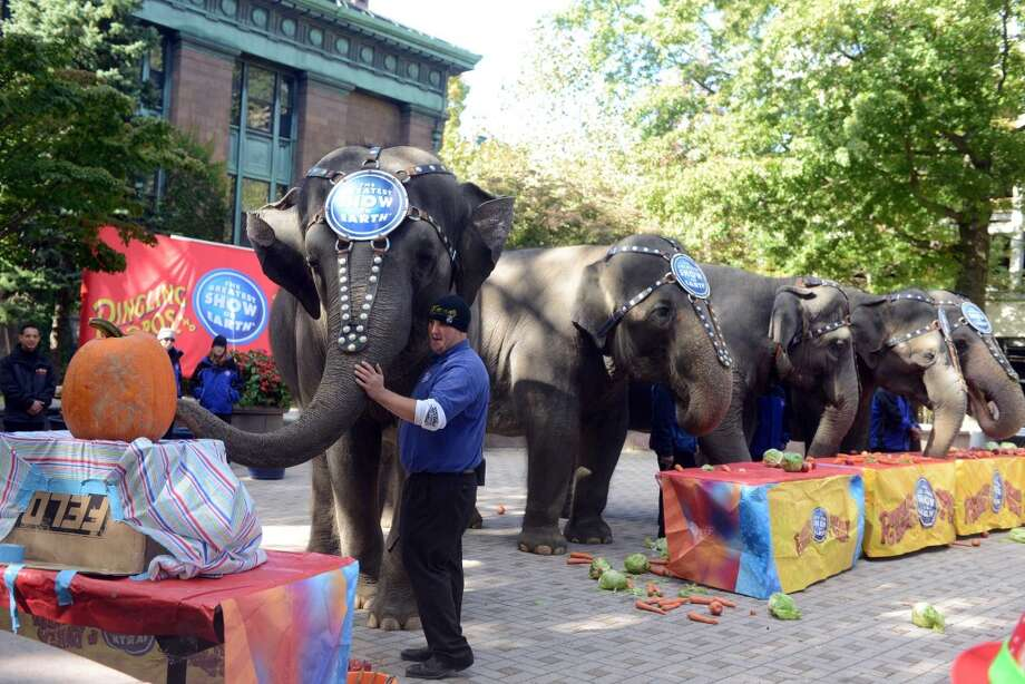 Seventeen-year-old pachyderm Kelly Ann paints a pumpkin as other Ringling Bros. and Barnum & Bailey elephants enjoy a healthy lunch at McLevy Green in downtown Bridgeport, Conn. Thursday, Oct. 24, 2013. Photo: Autumn Driscoll