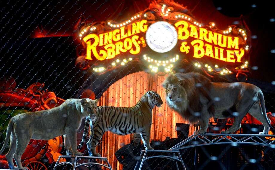 Ringling Bros. and Barnum & Bailey Circus gives a special seminar on Working with Big Cats to students from Trumbull Agri-Science classes and Zoological and Biotechnological Sciences students from the new Fairchild Wheeler Magnet School in Bridgeport Friday, Oct. 25, 2013 at the Webster Bank Arena. Photo: Autumn Driscoll
