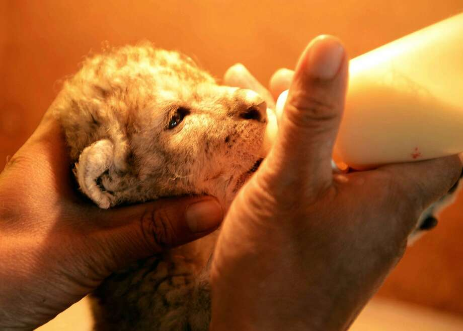 Chug-a-lug cub: A newborn African lion drains a bottle of milk at Qingdao Forest Wildlife World in Qingdao, China. Photo: Stringer, AFP/Getty Images