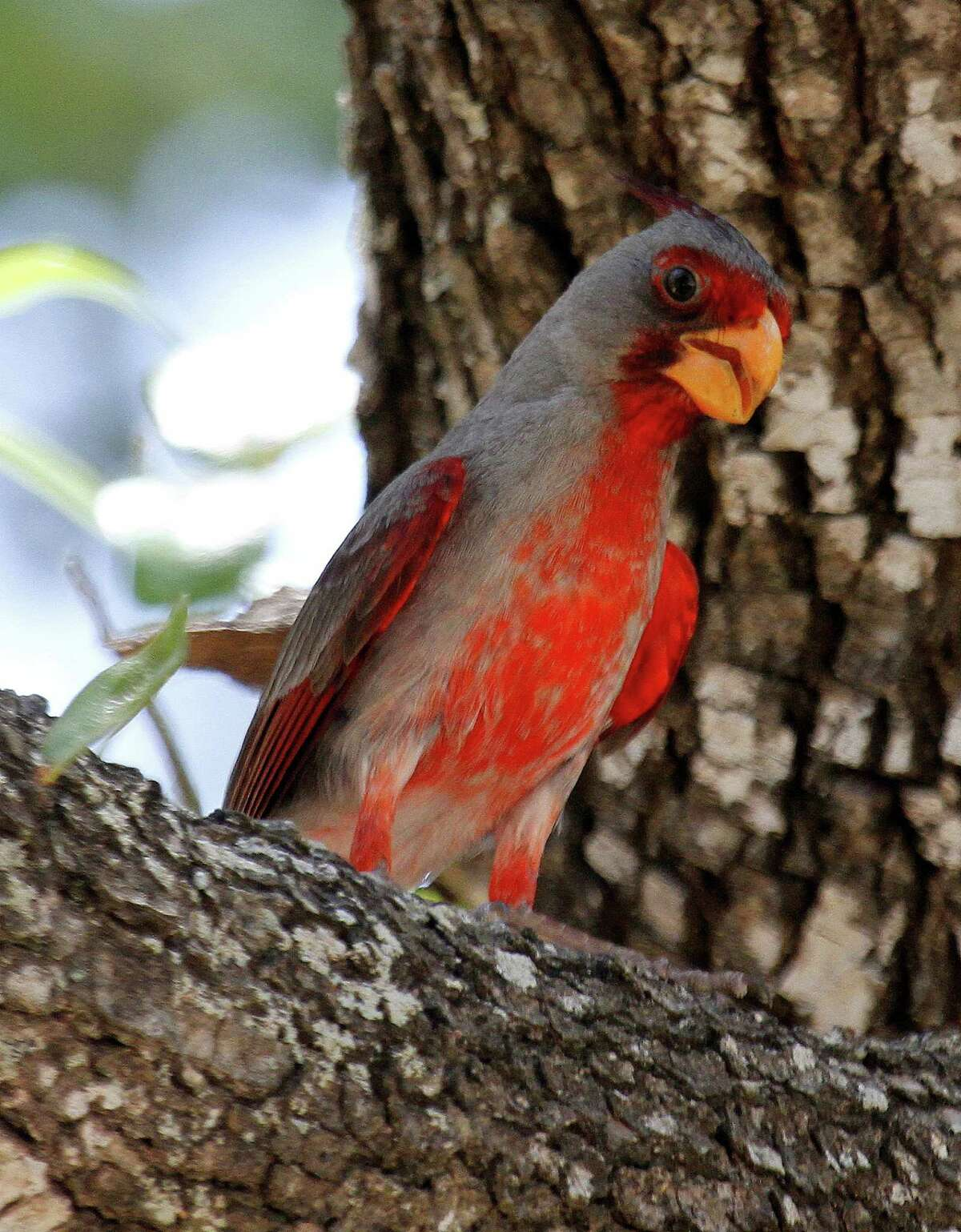 Pyrrhuloxia often are mistaken for their much more common northern cardinal cousins. These birds, with their thick, strong bills designed to crush hard seeds and nuts, are found in this country only in south and southwestern Texas and along the US/Mexico border in New Mexico and Arizona.