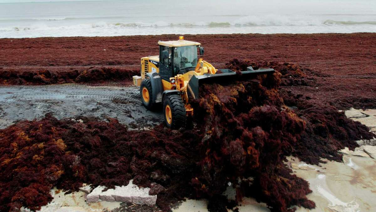 A Galveston Park Board worker moves mounds of Sargassum several feet high in places in Galveston near Seawall Boulevard.