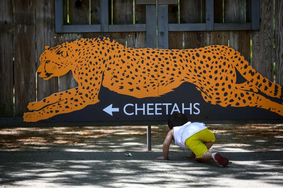 Jaxin Irvine, 2, looks under a gate near Woodland Park Zoo's temporary cheetah exhibit on Wednesday, April 30, 2014. (Joshua Trujillo, seattlepi.com) Photo: JOSHUA TRUJILLO, SEATTLEPI.COM