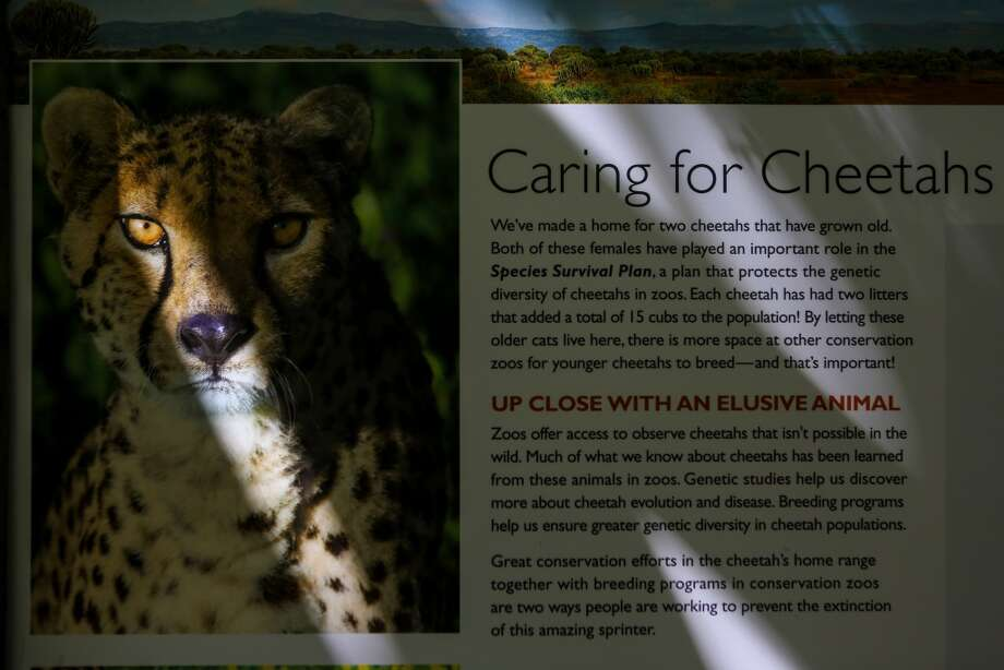 An information panel is shown in Woodland Park Zoo's temporary cheetah exhibit on Wednesday, April 30, 2014. (Joshua Trujillo, seattlepi.com) Photo: JOSHUA TRUJILLO, SEATTLEPI.COM