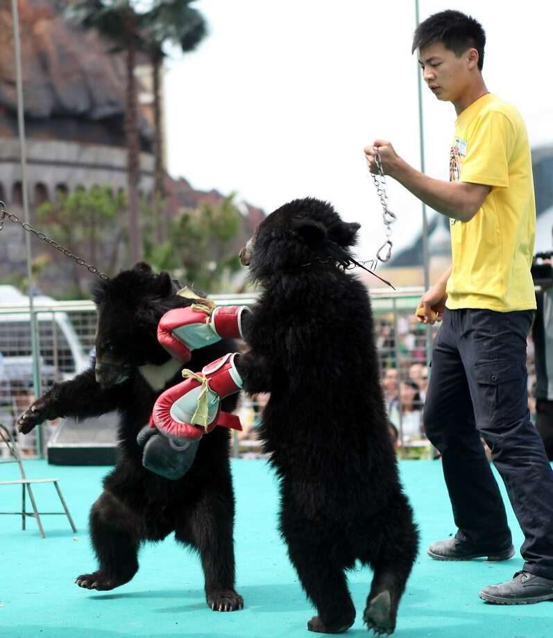 "This is just wrong: A trainer coaxes two juvenile black bears to box during the ""Animal Olympic Games"" in Chongqing, China. The event attracts thousands of visitors enjoying the four-day May Day holiday in China. Photo: Stringer, AFP/Getty Images"