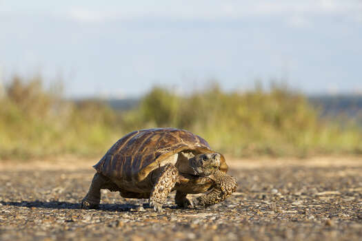 Texas Tortoise Status: Threatened