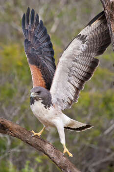 White-tailed Hawk Status: Threatened  Photo: Danita Delimont, Texas Wildlife / Gallo Images