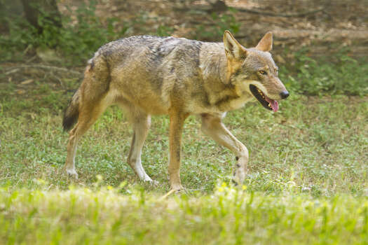 Red WolfStatus: Endangered Photo: Danita Delimont, Texas Wildlife / Gallo Images