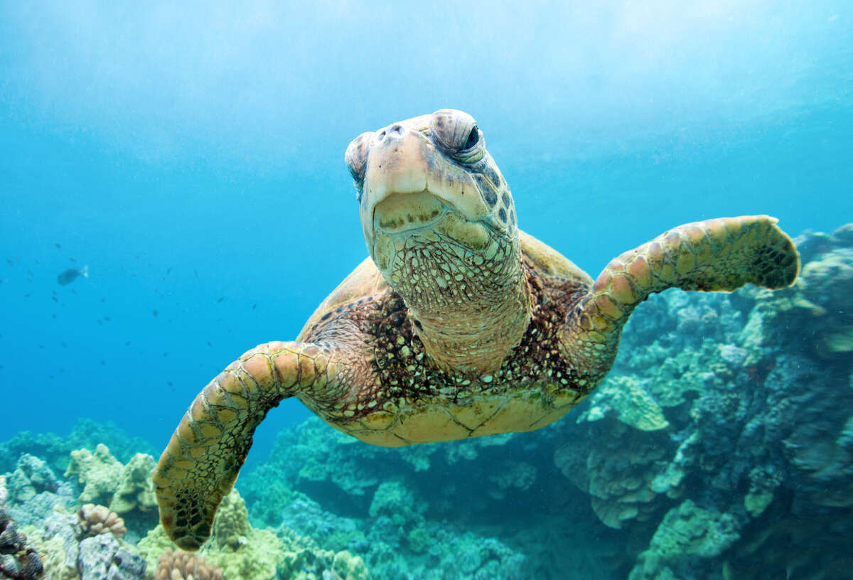 More than a dozen threatened green sea turtles washed up dead in Texas. Conservationists are trying to determine what killed 15 green sea turtles in South Texas near Brownsville. The turtles are a threatened species. Click through the gallery to see more endangered species in Texas.
