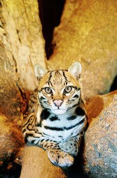 OcelotStatus: Endangered Photo: Tanuki Photography, Texas Wildlife / (c) Tanuki Photography