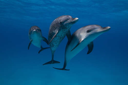 Atlantic Spotted DolphinsStatus: Threatened Photo: Scott Portelli, Texas Wildlife / Flickr RF