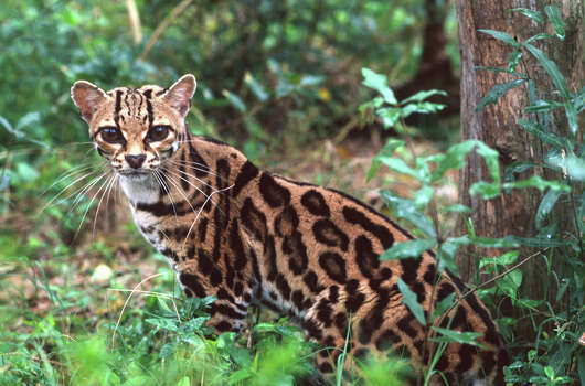 Margay Status: Threatened  Photo: Danita Delimont, Texas Wildlife / Gallo Images