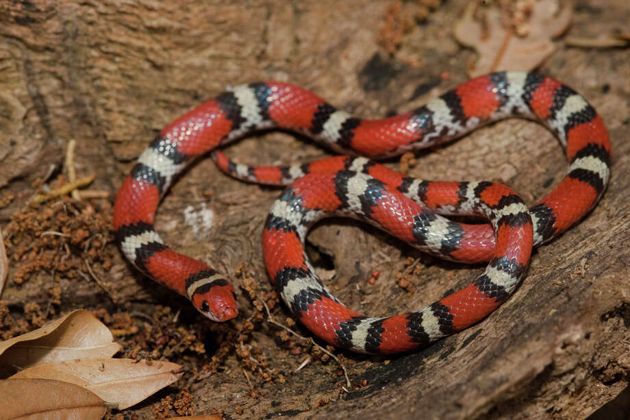 Scarlet Snake Status: Threatened Photo: Danita Delimont, Texas Wildlife / Gallo Images