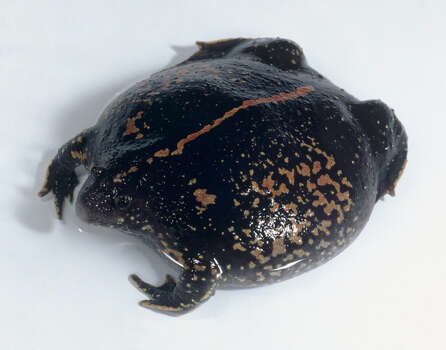 Mexican Burrowing Toad Status: Threatened
