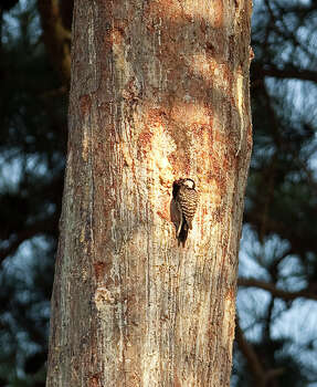 Red-cockaded Woodpecker Status: Endangered Photo: Nick De La Torre, Texas Wildlife / © 2012  Houston Chronicle