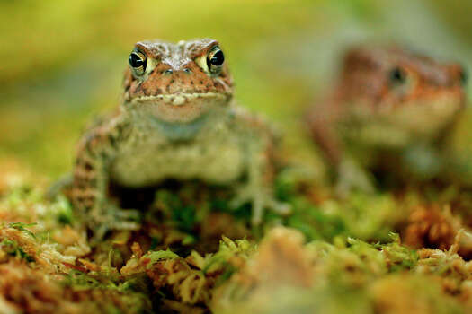 Houston Toad Status: Endangered Photo: Mayra Beltran, Texas Wildlife / © 2012 Houston Chronicle
