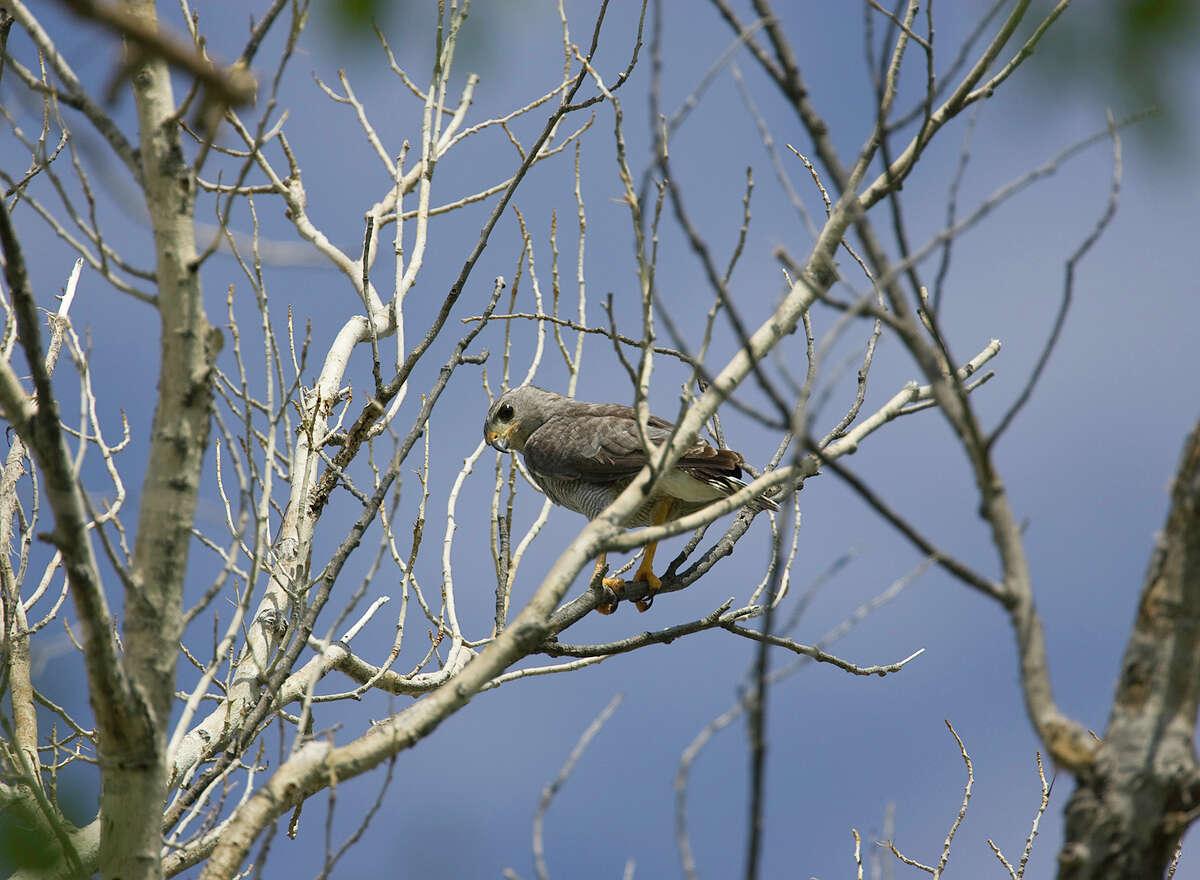 Gray HawkBird type: RaptorState status: ThreatenedSource: Texas Parks and Wildlife Department