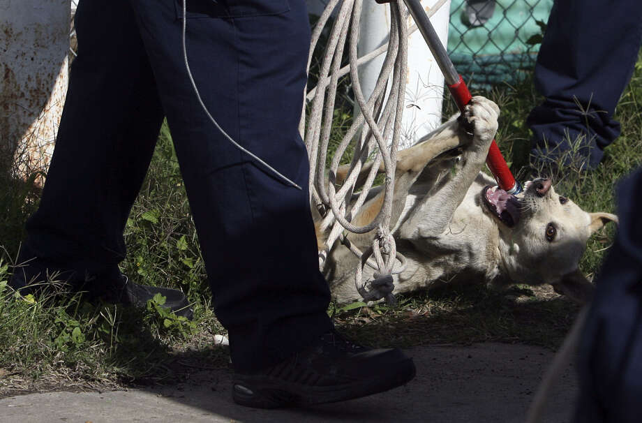A dog, perhaps a stray, is corralled. A Michigan firm has offered to count San Antonio's stray dog population. But would it be worth the cost? Probably not. Photo: John Davenport / San Antonio Express-News / jdavenport@express-news.net
