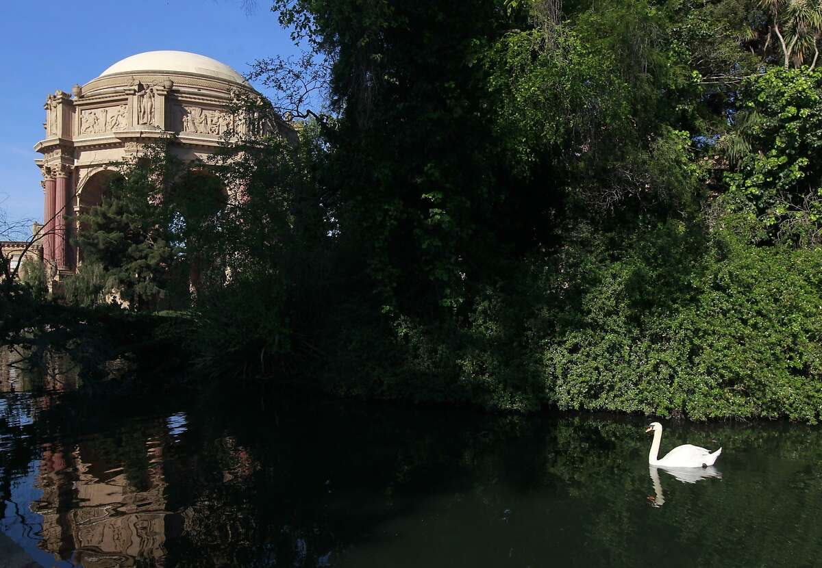 Blue Boy swims past the island where his mate Blanche is nesting at the Palace of Fine Arts in San Francisco, Calif. on Wednesday, April 30, 2014. A group tending to the swans have replaced Blanche's eggs with ceramic lookalikes to prevent the cygnets from hatching.