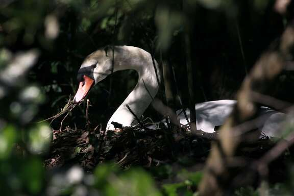 Blanche adjusts her nest on the island at the Palace of Fine Arts in San Francisco, Calif. on Wednesday, April 30, 2014. A group tending to the two swans, Blanche and her mate Blue Boy,  have replaced Blanche's eggs with ceramic lookalikes to prevent the cygnets from hatching.