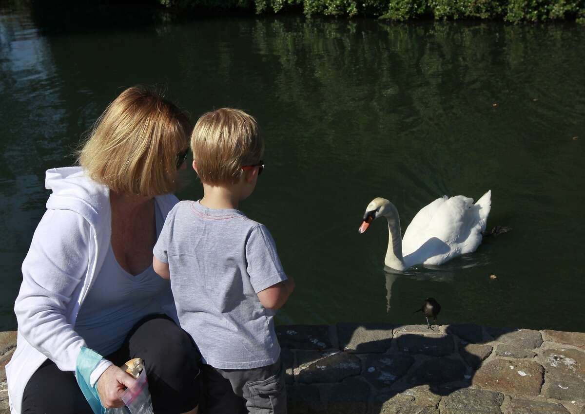 Pat Proses (left) and her grandson Blake Proses, 3, offer bread to Blue Boy, as he swims near the island where his mate Blanche is nesting at the Palace of Fine Arts in San Francisco, Calif. on Wednesday, April 30, 2014. A group tending to the swans have replaced Blanche's eggs with ceramic lookalikes to prevent the cygnets from hatching.