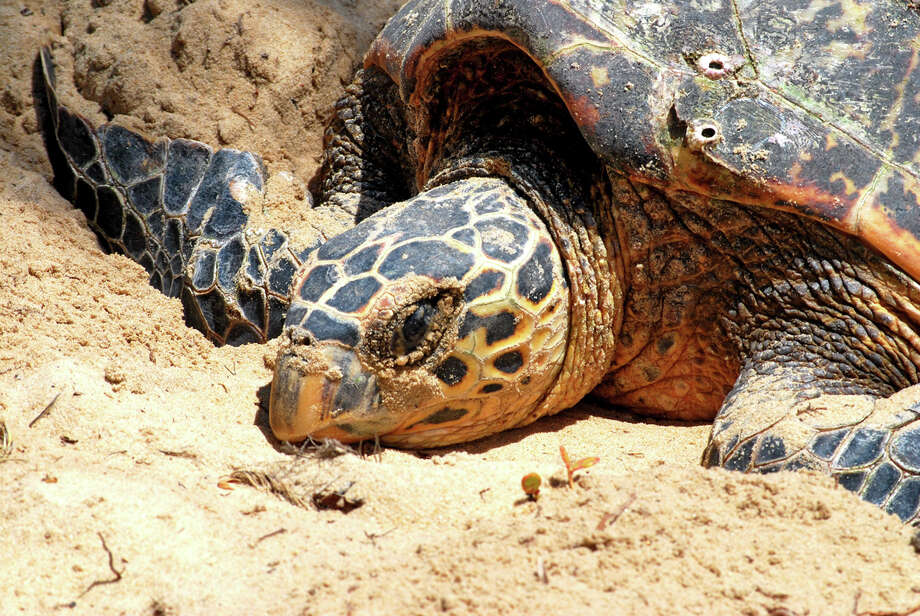 Leatherback Sea turtleStatus: Endangered  (Getty Images) Photo: Carlos Alkmin, Texas Wildlife / Flickr RF