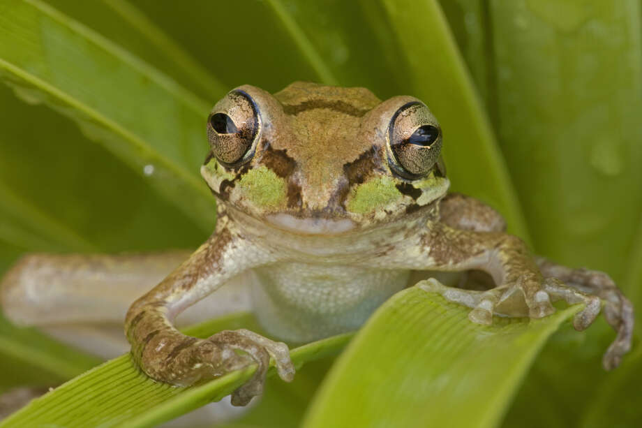 Mexican Treefrog Status: Threatened  Photo: John Cancalosi, Texas Wildlife / (c) John Cancalosi
