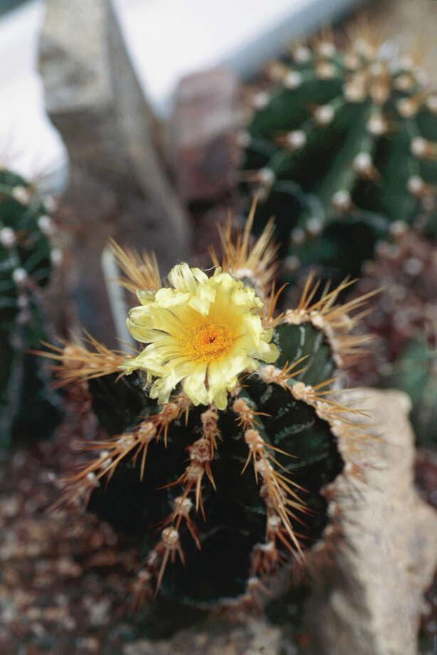 Star Cactus Status: Endangered  (Photo by DeAgostini/Getty Images) Photo: DEA / RANDOM, Texas Wildlife / De Agostini Editorial