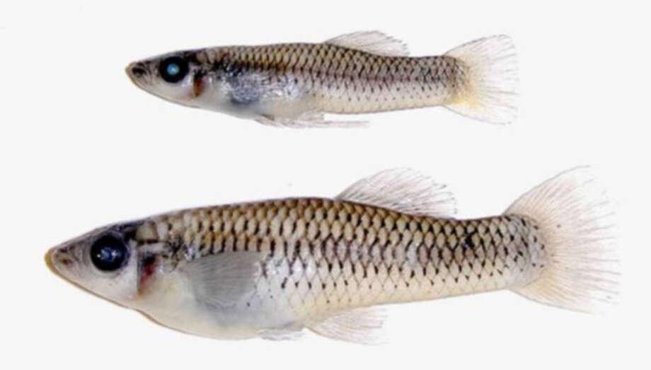 San Felipe GambusiaStatus: Threatened Photo: Robert Edwards, Texas Wildlife / UT-Pan-American