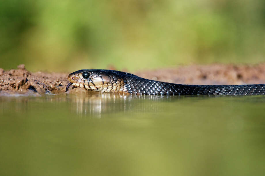 Texas Indigo Snake Status: Threatened Photo: Jeremy Woodhouse, Texas Wildlife / SuperStock RM