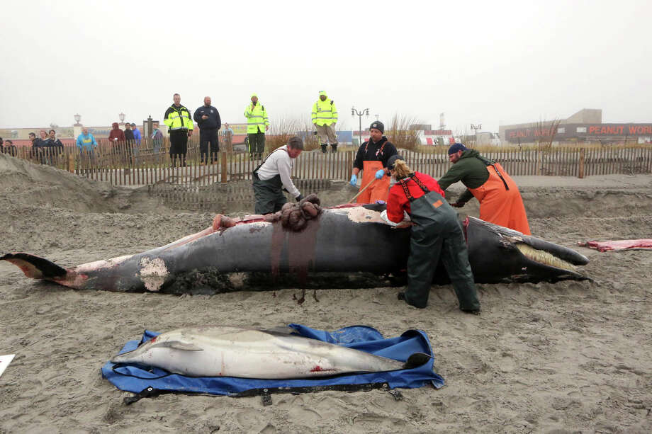 Bob Schoelkopf, left, director of the Marine Mammal Stranding Center, looks over a minke whale that washed up along with a common dolphin, in Atlantic City, N.J., Thursday, May 1, 2014.  MANDATORY CREDIT Photo: Vernon Ogrodnek, AP / The Press of Atlantic City