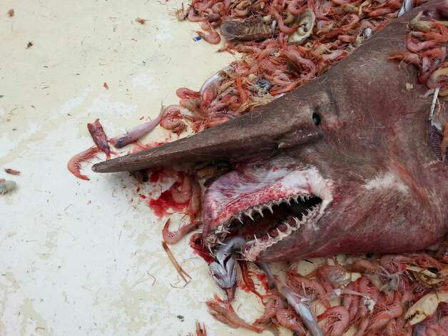The extremely rare Goblin shark was accidentally caught up in a shrimp net off the coast of Key West, fishermen hoisted the ugly beast back into the water where it swam away. Photo: Carl Moore