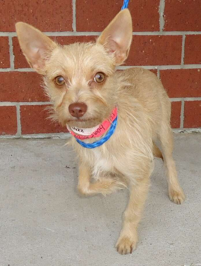 Next up is Chiclet, a 7 month old, very sad Terrier girlfriend.  She was born with a deformed right leg.  Even though it makes her look pitiful it doesn't bother her one bit and she gets around just fine. Chiclet was part of a group of 5 dogs that were brought in by one person who said they had too many. All the others have found homes except this little one  Citizens for Animal Protection