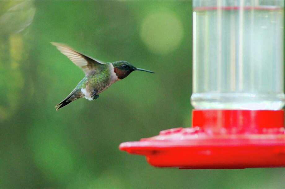 A ruby-throated hummingbird pauses to feed as it passes through Houston during its annual migration. Photo: Kirk Sides, MBR / Conroe Courier