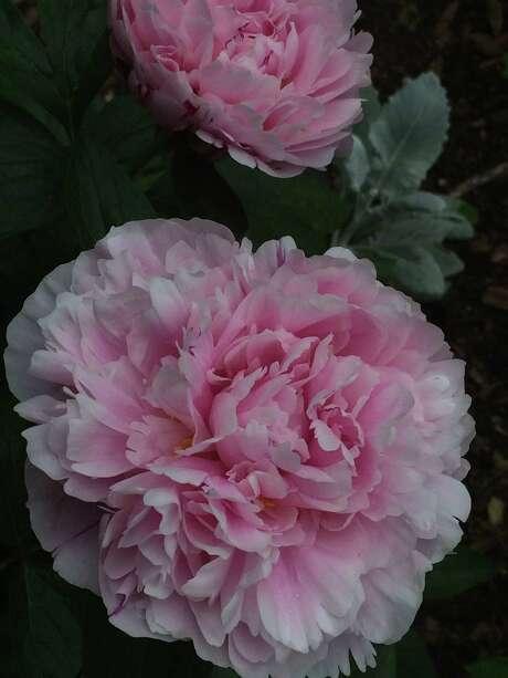 'Sarah Bernhardt' peony blooms in Tom Barger's Houston area garden.