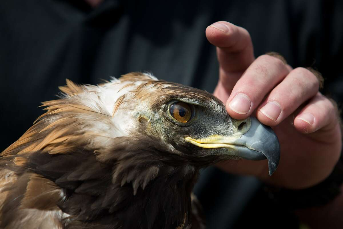 California Raptor Center volunteer Brenton Pierce holds Griffy, a rehabilitated golden eagle, before releasing her at Las Trampas Regional Park in San Ramon, Calif. on Friday, May 2, 2014. The bird suffered from feather loss due to a mite infestation.