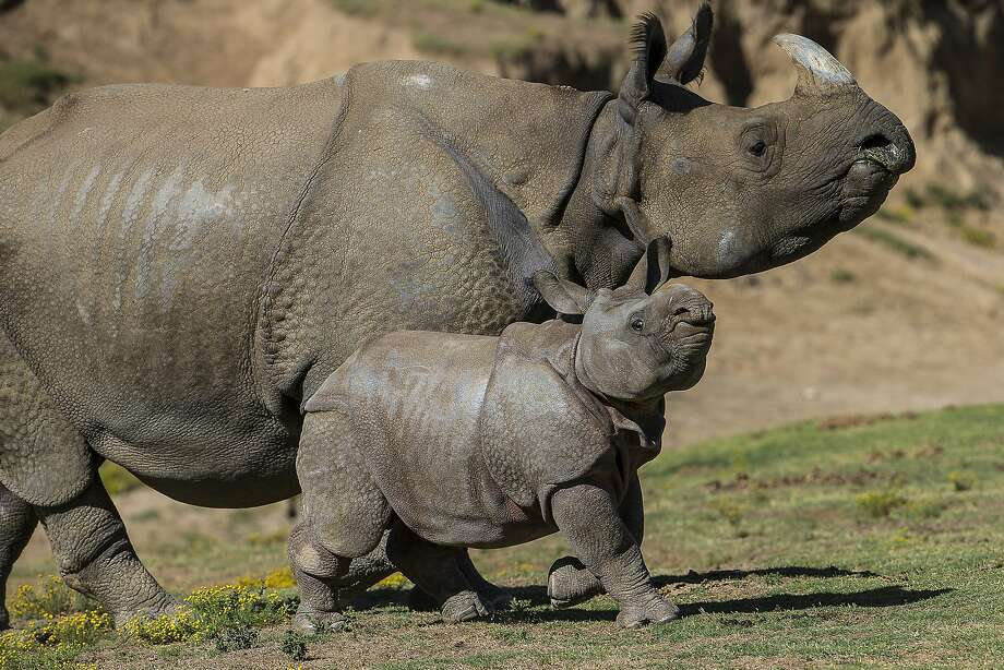 Rhinos learn to strut at an early age: This thick-skinned baby was born at the San Diego Zoo nine weeks ago. The calf, named Parvesh (lord of celebration), was making his first public appearance in the zoo's Asian Plains exhibit. Photo: Ken Bohn, Associated Press