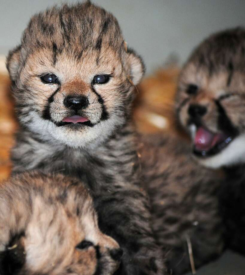 Clear eyes, protruding tongues, can't lose:The Tiergarten Schoenbrunn Zoo in Vienna welcomed cheetah triplets April 16. They're growing up fast. Photo: Andreas Eder, AFP/Getty Images