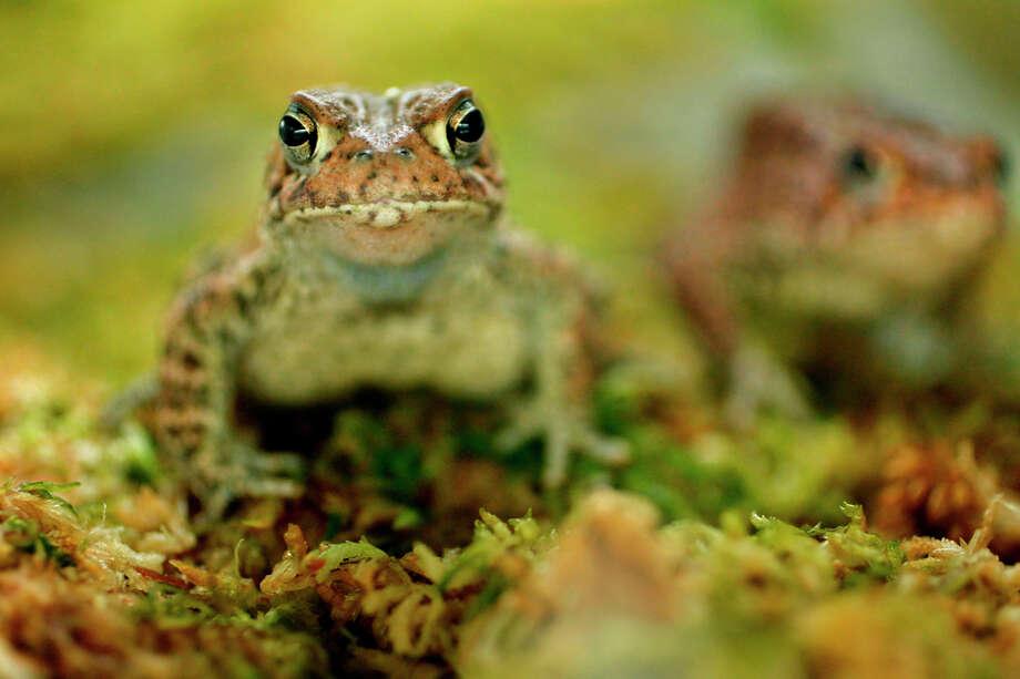 Houston ToadStatus: Endangered Photo: Mayra Beltran, Texas Wildlife / © 2012 Houston Chronicle