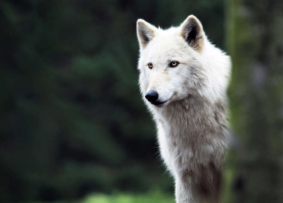 Gray Wolf Status: Endangered  (Getty Images) Photo: Carmen Brown Photography, Texas Wildlife / Flickr RF