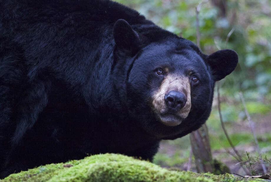 Black Bear Status: Threatened  (Getty Images) Photo: Chase Dekker Wild-Life Images, Texas Wildlife / Flickr RF
