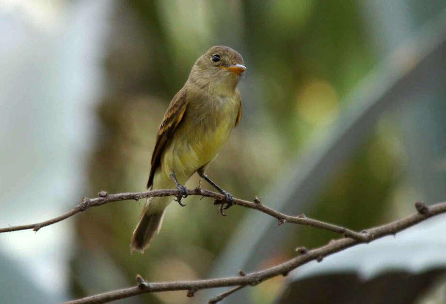 Southwestern Willow FlycatcherStatus: Endangered Photo: Jim Rorabaugh, Texas Wildlife / The U.S. Fish and Wildlife Servi