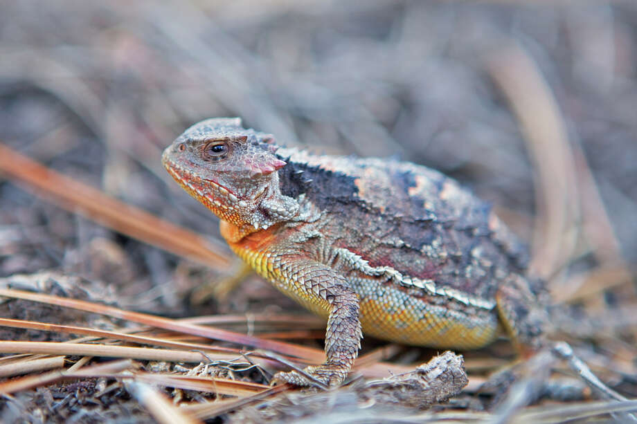 Texas Horned Lizard Status: Threatened Photo: George Brits, Texas Wildlife / Gallo Images