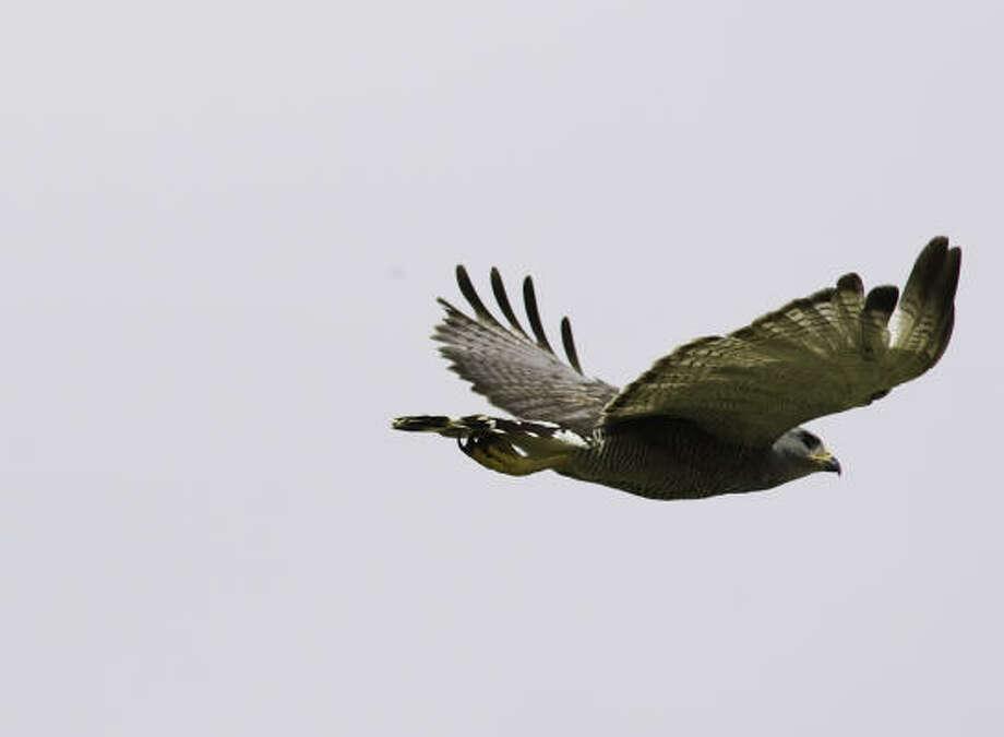 Gray HawkStatus: Threatened Photo: Kathy Adams Clark
