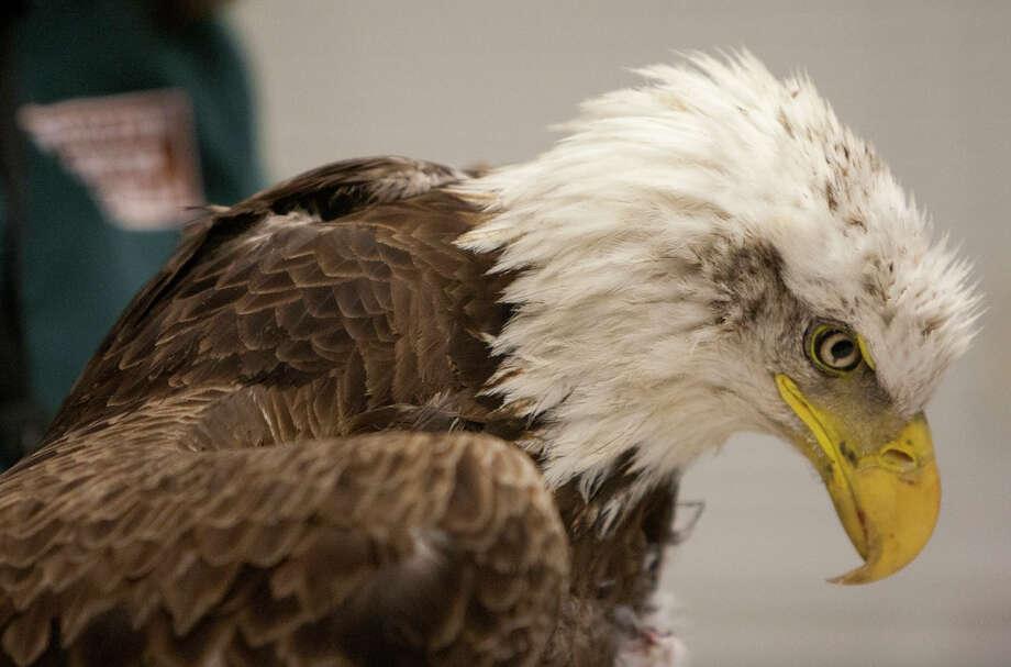 Bald EagleStatus: Threatened  (Cody Duty / Houston Chronicle) Photo: Cody Duty, Texas Wildlife / © 2014 Houston Chronicle