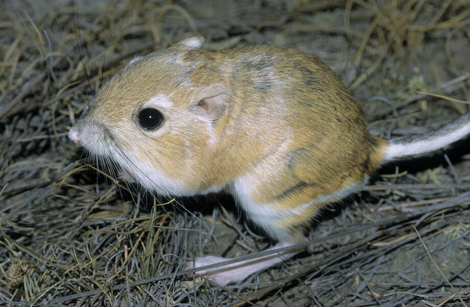 Texas Kangaroo Rat Status: Threatened  Photo: Wayne Lynch, Texas Wildlife / All Canada Photos