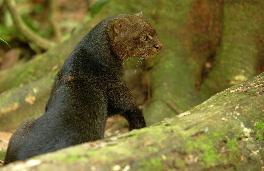 Jaguarundi Status: Endangered  (Getty Images) Photo: Danita Delimont, Texas Wildlife / Gallo Images
